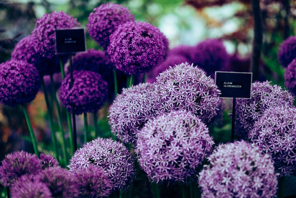 spring wedding flowers - allium