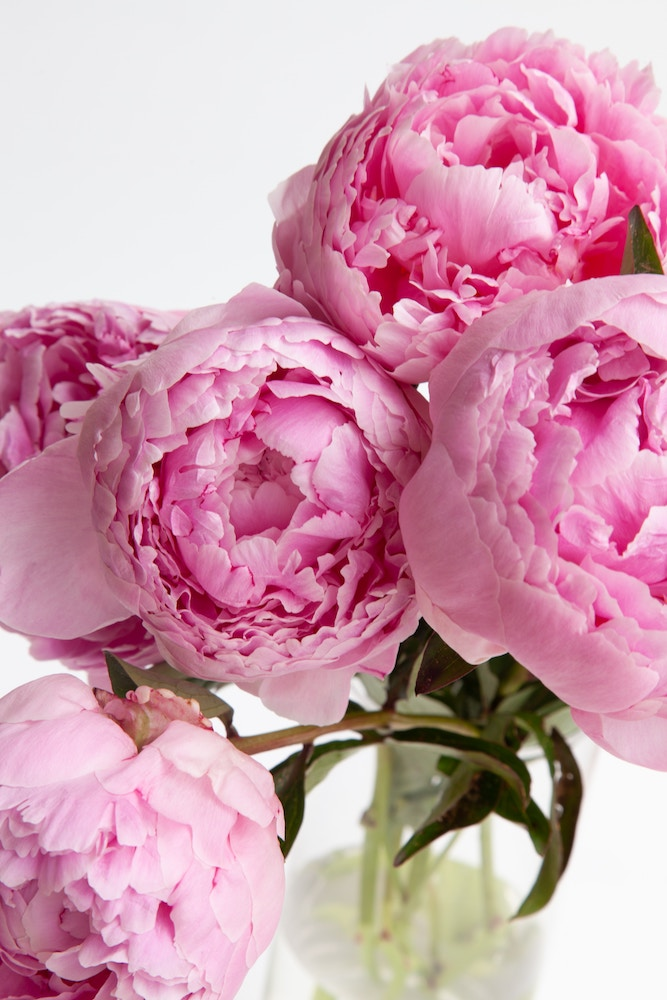 Peonies for weddings