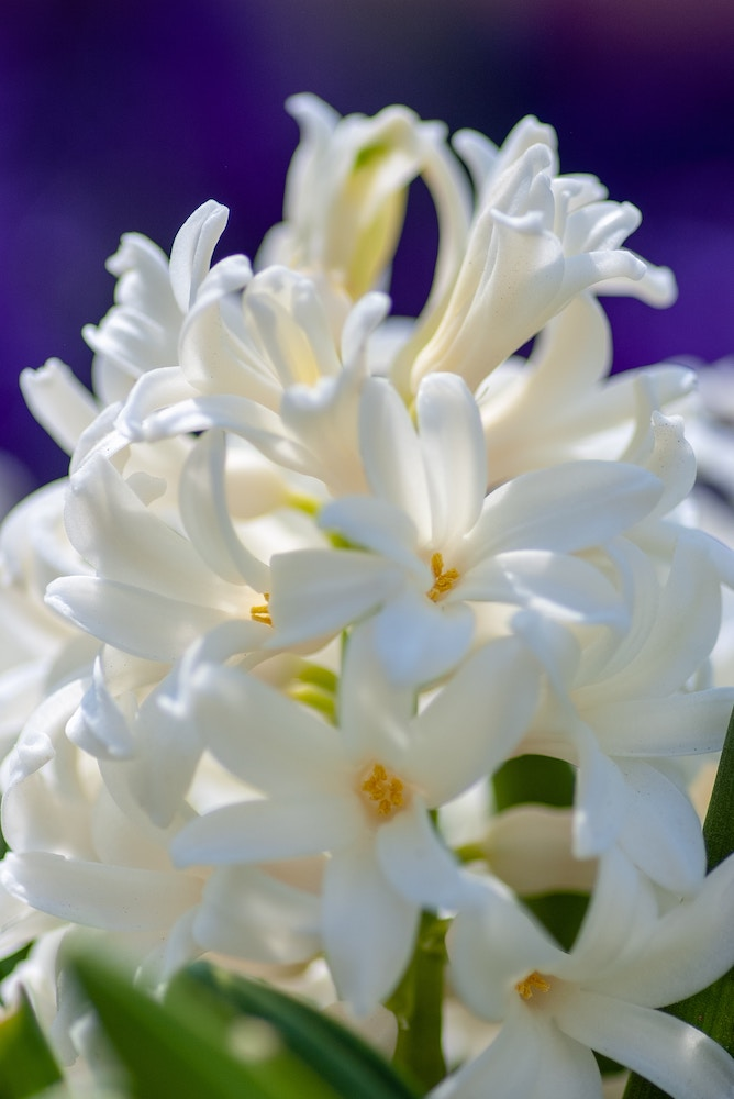 white hyacinths for your wedding